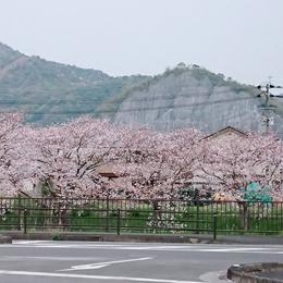 桜シーズン到来☆